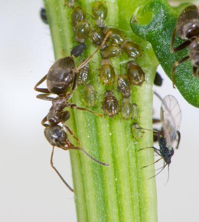 piojos: Los piojos y las hormigas en el tallo de una flor Foto de archivo
