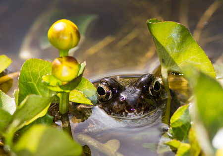 palustris: Toad in the water at a marsh marigold flower