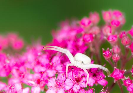 flower  crab  spider: Macro of a white crab spider (Misumena vatia) on a Spiraea japonica flower Stock Photo