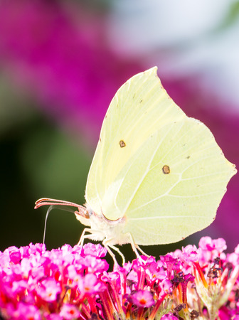 rhamni: Brimstone butterfly on the blossoms of a buddleia bush