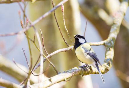 tit bird: Great tit bird sitting on the branch of a tree