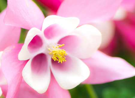 pink columbine: Detail of a Aquilegia Blossom with shallow depth of filed - focus on pistil