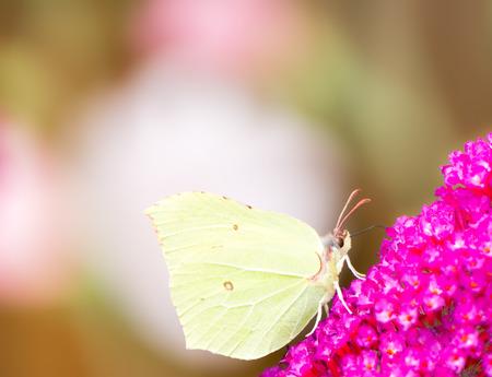 gonepteryx: Brimstone butterfly on the blossoms of a buddleia bush