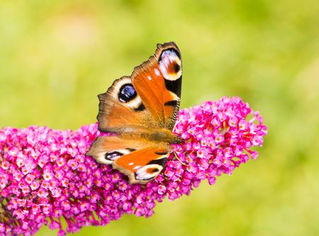 peacock butterfly: Mariposa del pavo real en las flores de un arbusto de buddleia