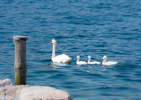 mute swan: Swan (cygnus olor) family with babies