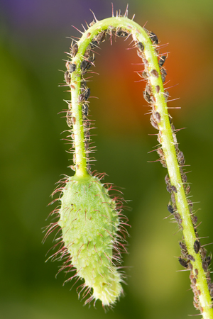 varmint: Bud of a poppy flower full of lice Stock Photo