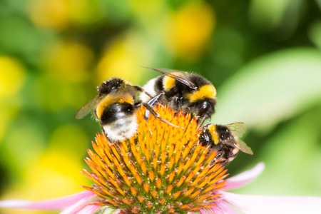 bumblebee: Three bumblebees on the blossom of an echinacea flower