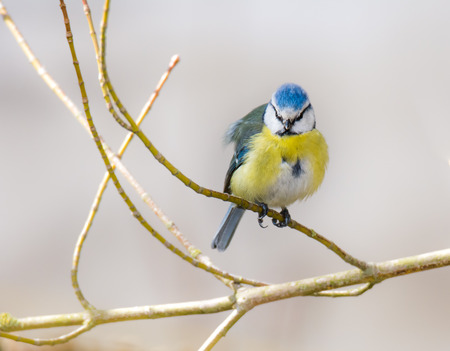cyanistes: Blue tit bird sitting on the twig of a tree