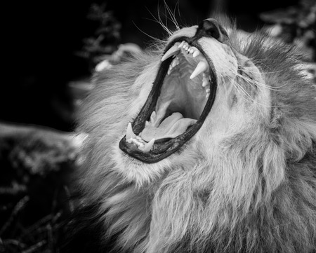dangerous lion: Black and white Portrait of  a wild roaring lion Stock Photo