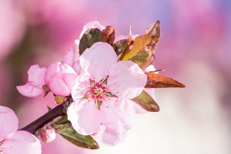 peach tree: Blossoms of the  Prunus persica Spring Glory peach tree