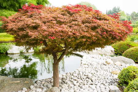 acer palmatum: Japanese maple (acer palmatum dissectum)tree in a japanese garden Stock Photo