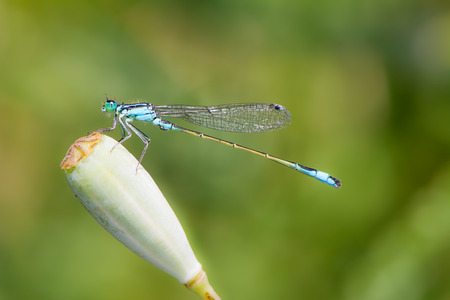 damselfly: Macro of a common bluetail damselfly (Ischnura heterosticta)