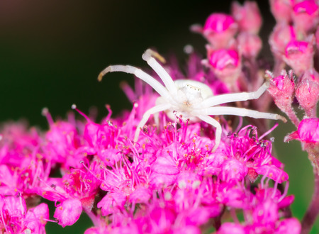 misumena: Macro of a white crab spider (Misumena vatia) on a Spiraea japonica flower Stock Photo