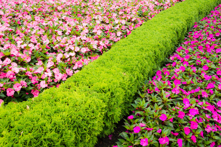 lizzie: Impatiens walleriana flowers divided by thuja hedge. Stock Photo