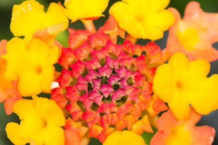 lantana camara: Macro of a Lantana camara flower Stock Photo