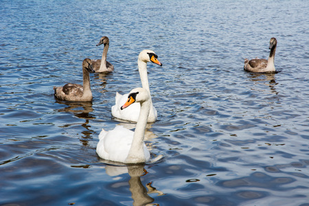 cygnus olor: Swan (cygnus olor) family with babies