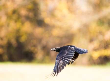 crow: Black craw flying over a meadow Stock Photo