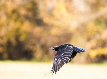 cuervo: Buche Negro volando sobre un prado