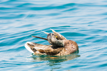 anas platyrhynchos: Female wild duck  (Anas platyrhynchos) swimming in the water. Stock Photo