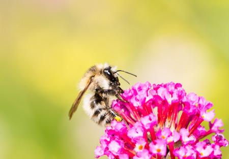 nectar: Honeybee collecting nectar at purple buddleia flower