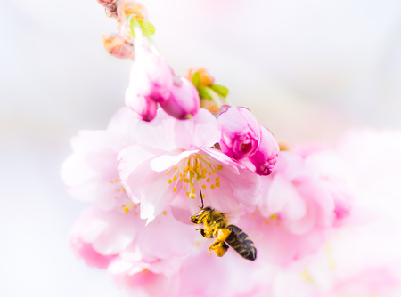 cerezos en flor: Macro of a bee flying to pink cherry blossoms