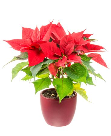 plant in pot: Isolated poinsettia (Euphorbia pulcherrima) flower Stock Photo