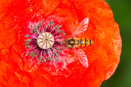 syrphid fly: Hovefly collecting nectar in the blossom of red poppy flower