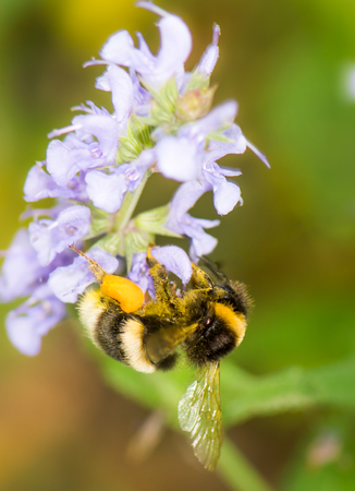 Bumblebee collecting nectar at a Veronica spicata flower