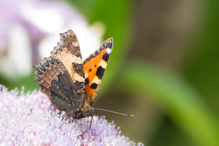 nymphalis: Small tortoise shell butterfly (Aglais urticae) on a hydrangea flower
