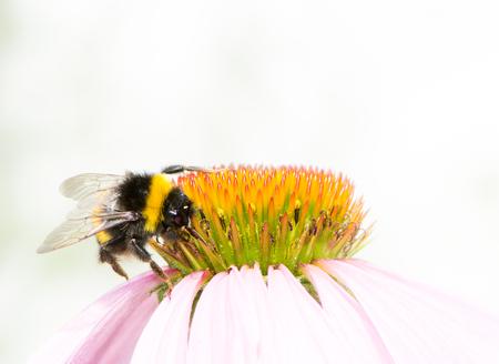 bumblebee: Macro of a bumblebee collecting nectar on Echinacea flower