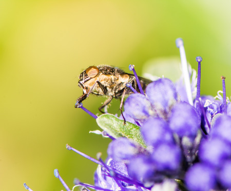 compound eye: Macro of a fly on a purple flower