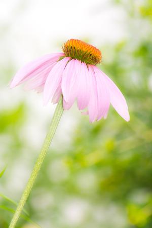 echinacea purpurea: Blossom of a pink Echinacea purpurea flower Stock Photo