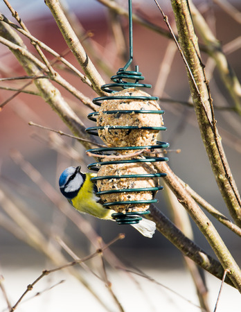 blue tit: Blue tit bird eating at a bird feeder hanging on a tree
