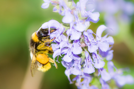veronica flower: Bumblebee collecting nectar at a Veronica spicata flower