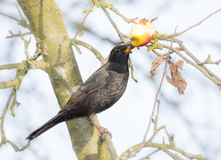arbol de manzanas: Commonb blackbird pecking and eating apple in an apple tree