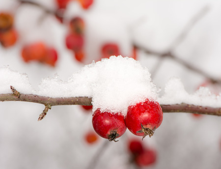 tree fruit: Frozen ripe apples covered with snow - selective focus