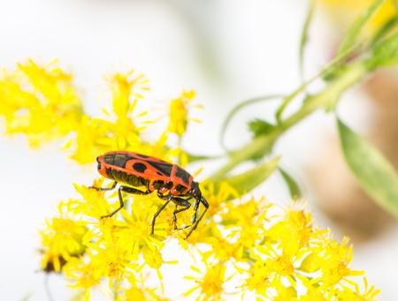 firebug: Macro of a firebug (Pyrrhocoris apterus) on a yellow flower Stock Photo