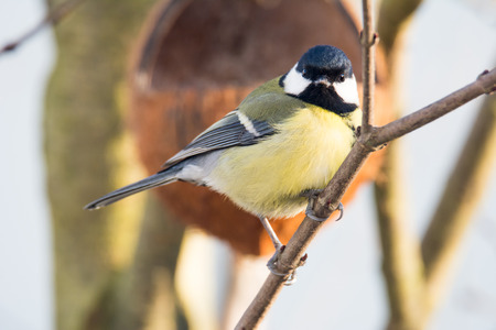 tit bird: Closeup of a great Tit bird sitting on the branch of a tree Stock Photo