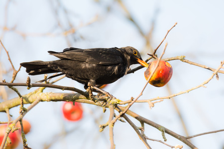 birds in a tree: Commonb blackbird pecking and eating apple in an apple tree