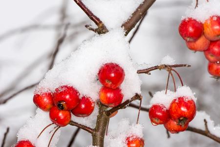 Apple tree: mele mature congelato coperto di neve - messa a fuoco selettiva