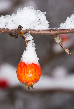 apfelbaum: Frozen ripe apple covered with snow