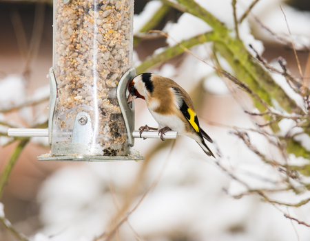 goldfinch: European goldfinch eating at a bird feeder