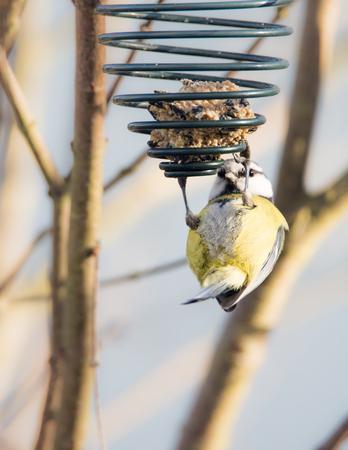 tit bird: Blue tit bird eating at a fat ball at a bird feeder hanging on a tree