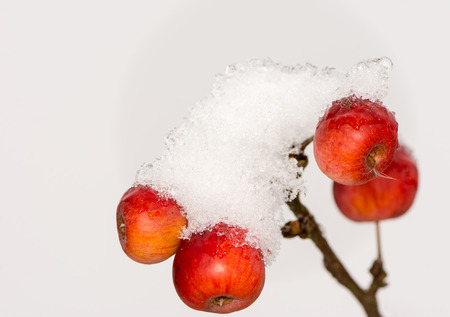 albero di mele: Frozen ripe apples covered with snow - selective focus