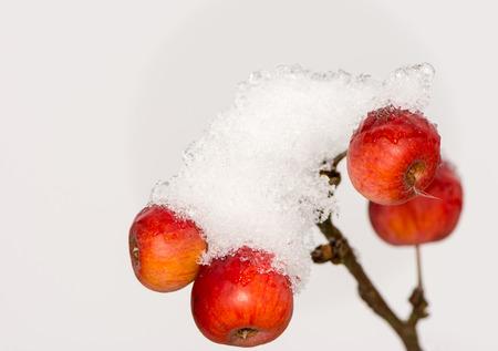 albero di mele: mele mature congelato coperto di neve - messa a fuoco selettiva