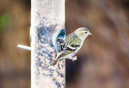 bird feeder: Eurasian siskin eating at a bird feeder Stock Photo