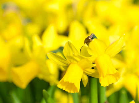 flowerbed: Springtime - flowerbed with yellow daffodil flowers