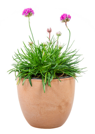 thrift: Isolated potted pink Armeria flower (sea thrift or sea pink) Stock Photo