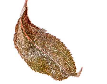 blight: Isolated leaf of an apple tree with powdery mildew (Podosphaera leucotricha), a fungal disease
