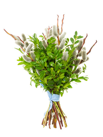 palm sunday: Traditional pussy willow bunch for Palm Sunday